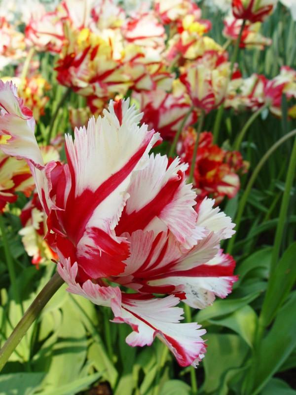 Papagei Tulpen im Garten und Topf – Wissenswertes, Pflegetipps und Sorten maler strichen tulpen