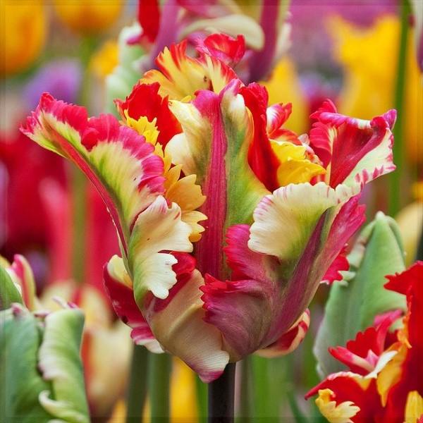 Papagei Tulpen im Garten und Topf – Wissenswertes, Pflegetipps und Sorten regenbogen hübsch schön