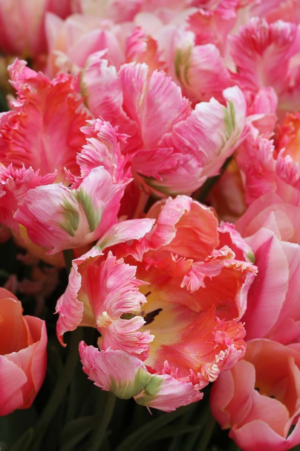 Papagei Tulpen im Garten und Topf – Wissenswertes, Pflegetipps und Sorten rosa tulpen parrot