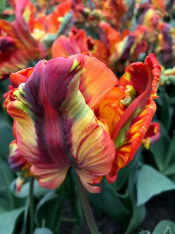Papagei Tulpen im Garten und Topf – Wissenswertes, Pflegetipps und Sorten wundervolle blumen im garten