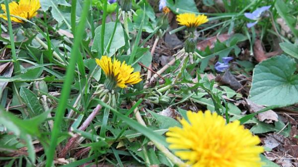 Rasenpflege im Frühjahr Tipps Unkraut