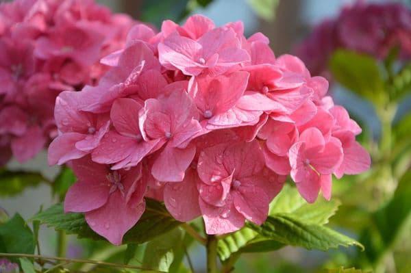 Rosa Hortensien ein Symbol für mehr Romantik im Leben