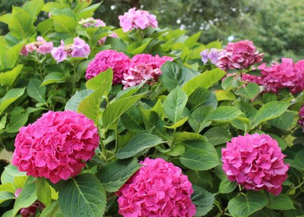 Rosa Hortensien im Garten alkalischen Boden gut für diese Hortensien den pH-Wert erhöhen