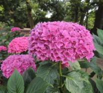 5 Pflegetipps für die schönsten rosa Hortensien in Ihrem Garten