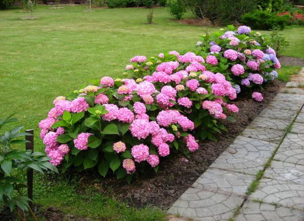 Rosa Hortensien im Gartenbeet schöner Blickfang düngen fördert das Wachstums der Gartenblumen