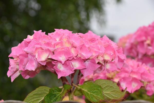 Rosa Hortensien sanfte Farbnuance wirkt wie Magnet im Garten