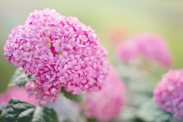 Rosa Hortensien zarte Blüten in sanftem Rosa Hingucker