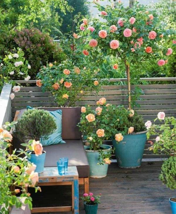 Topfrosen Pflege Rosen im Kübel Balkonpflanzen