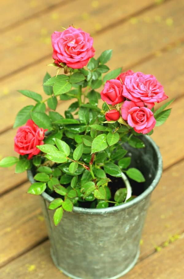 Topfrosen Pflege Rosen im Kübel Gartenpflanzen Kübelpflanzen