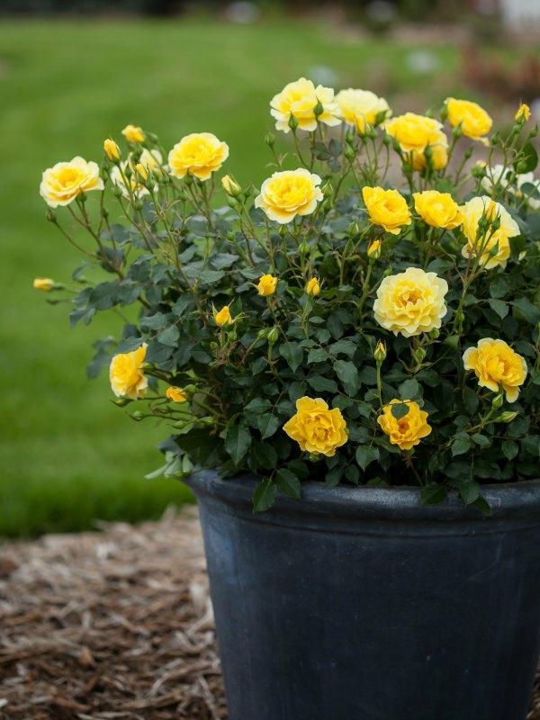 Topfrosen Pflege Rosen im Kübel Kübelpflanze Gartengestaltung