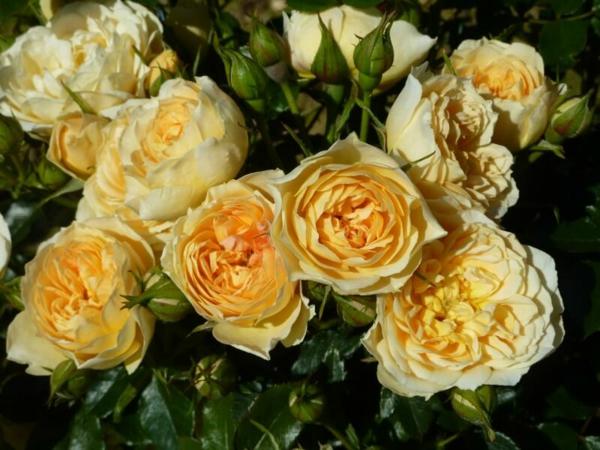 Topfrosen Pflege Rosen im Kübel gelbe Rosenblüten