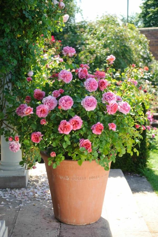 Topfrosen pflegen Rosen im Kübel Garten Kübelpflanzen