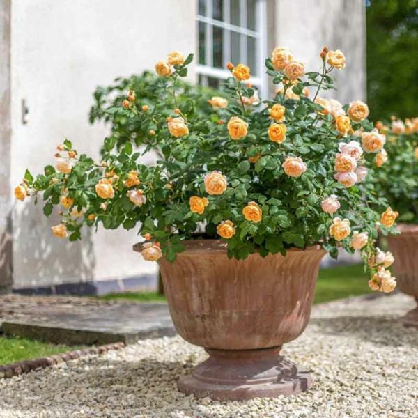 Topfrosen pflegen Rosen im Kübel Garten