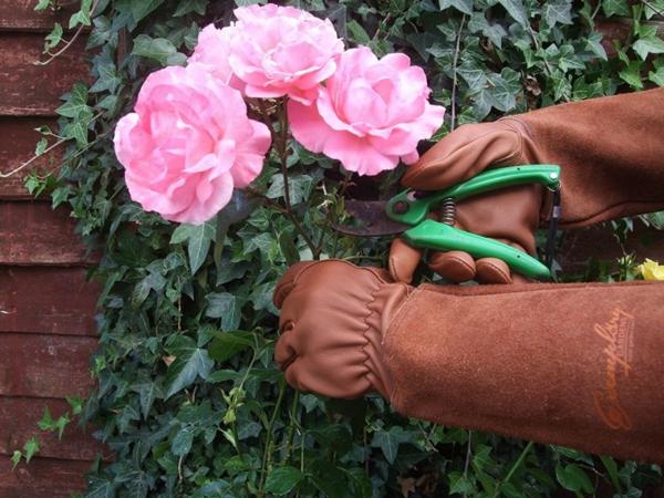 Topfrosen pflegen Rosen im Kübel Gartenblumen Rosen