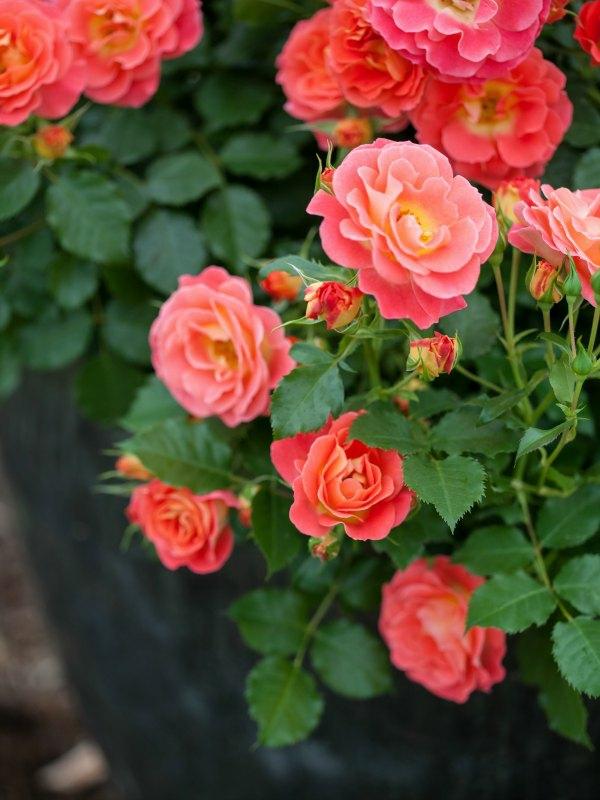 Topfrosen pflegen Rosen im Kübel Gartenpflanzen