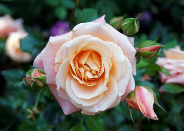 Topfrosen pflegen Rosen im Kübel Gartenrosen