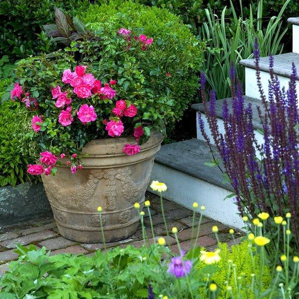 Topfrosen pflegen Rosen im Kübel Kübelpflanzen im Garten