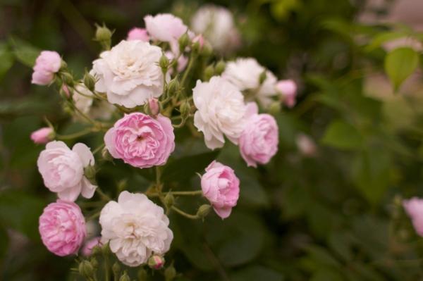 Topfrosen pflegen Rosen im Kübel Strauchrosen