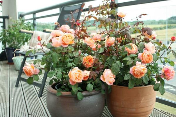 Topfrosen pflegen Rosen im Kübel Terrasenpflanzen