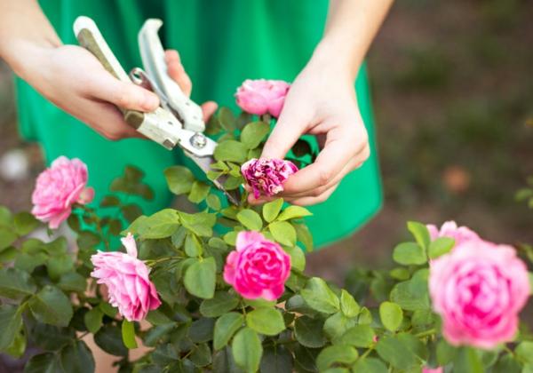 Topfrosen pflegen Rosen im Kübel beschneiden
