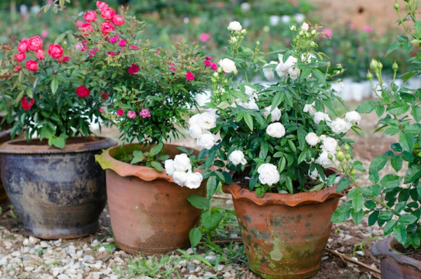 Topfrosen pflegen Rosen im Kübel züchten