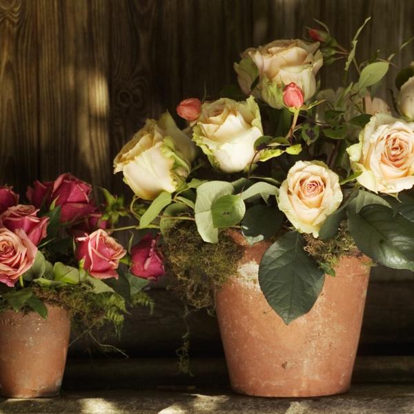 Topfrosen pflegen Tipps Rosen im Kübel Gartenpflanzen