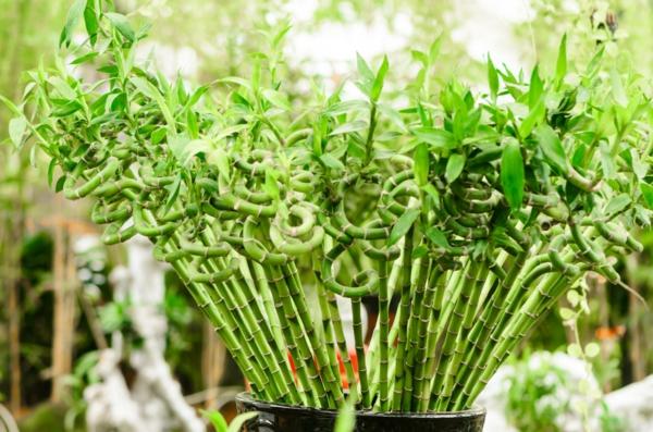 Wie Sie Ihren Glücksbambus pflegen sollen Feng Shui Zimmerpflanze