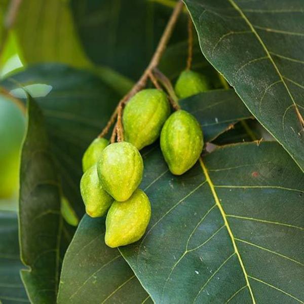 früchte haritaki terminalia chebula am baum