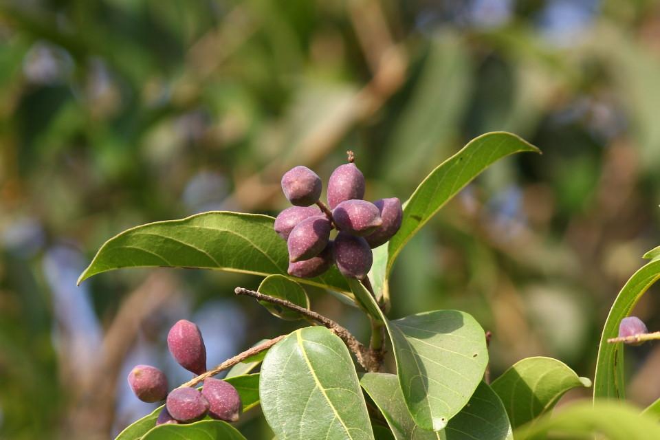 Haritaki-7-gesundheitliche-Vorteile-der-K-nigin-der-Heilpflanzen-