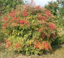 Himmelsbambus – die fernöstliche Schönheit richtig pflegen