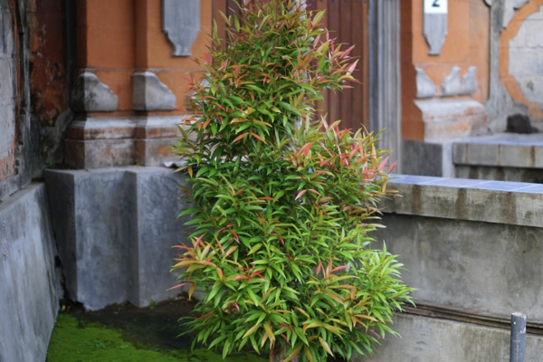 heiliger bambus richtig pflegen