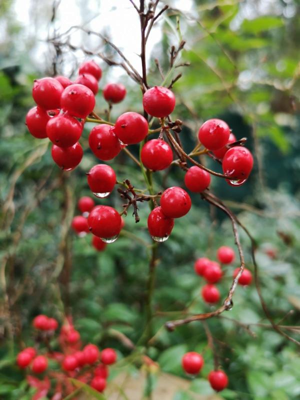 himmelsbambus rote früchte