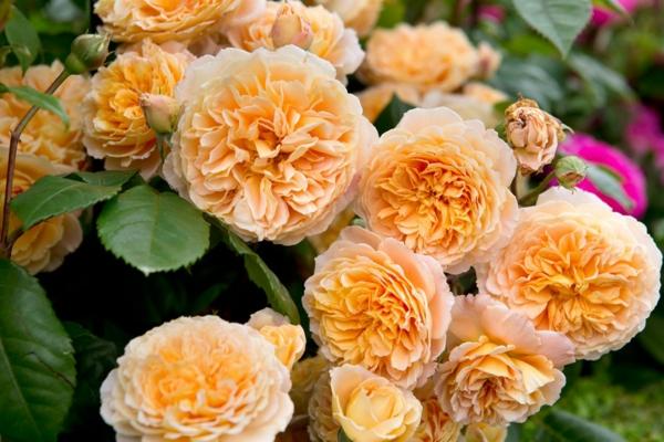 kletterrosen englische rosen pflegen