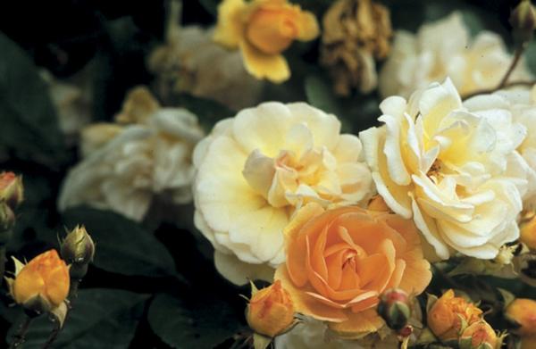 kletterrosen pflegen gelbe glüten