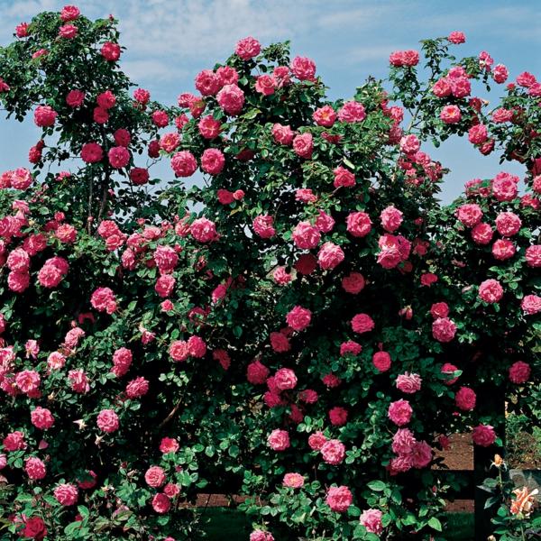 kletterrosen rosenstrauch pflegen