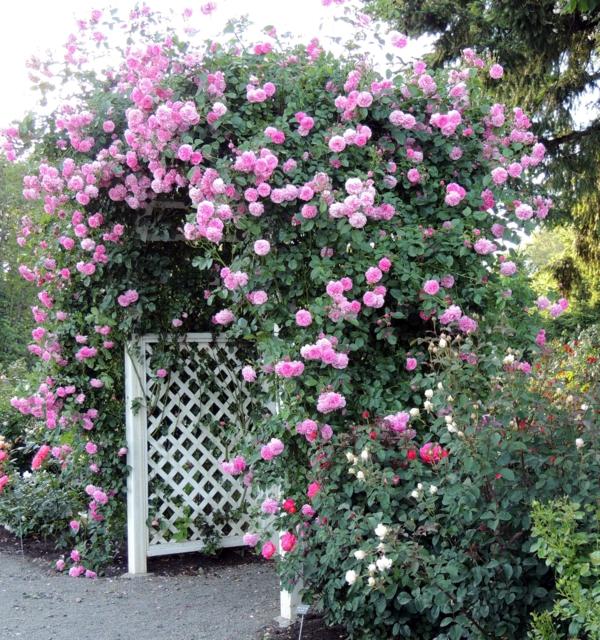 prächtige kletterrosen rosafarben
