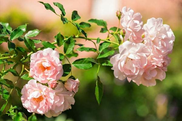rosa kletterrosen pflegen