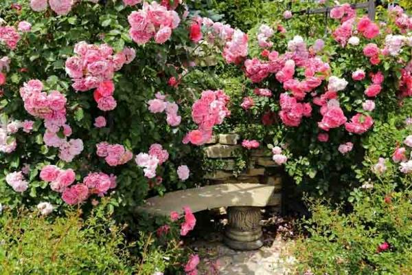 rosafarbene kletterrosen gartentipps