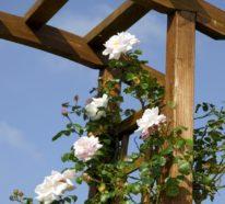 Kletterrosen richtig pflegen – 7 Tipps für mehr Blütenzauber und himmlischen Duft im Garten