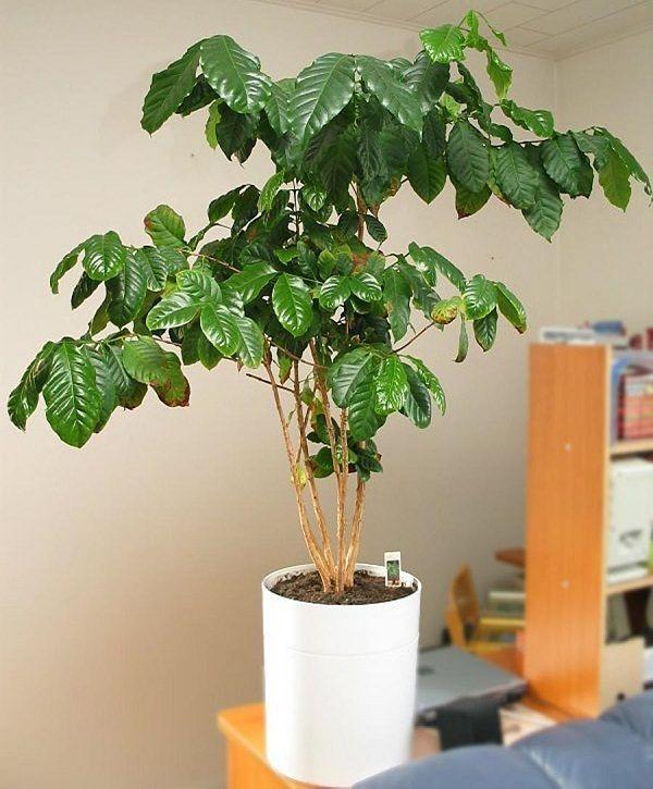 Kaffeepflanze Pflege Tipps und Wissenswertes für kaffeeliebende Hobbygärtner große pflanze im topf