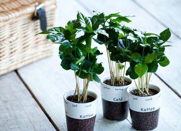 Kaffeepflanze Pflege Tipps und Wissenswertes für kaffeeliebende Hobbygärtner junge kaffee pflanzen topf