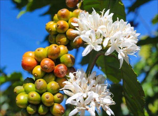 Kaffeepflanze Pflege Tipps und Wissenswertes für kaffeeliebende Hobbygärtner kaffee blüte und frucht kirsche
