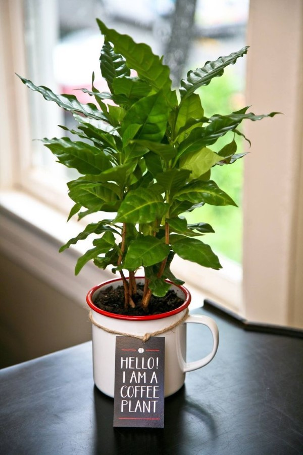 Kaffeepflanze Pflege Tipps und Wissenswertes für kaffeeliebende Hobbygärtner kaffee pflanze küchen deko
