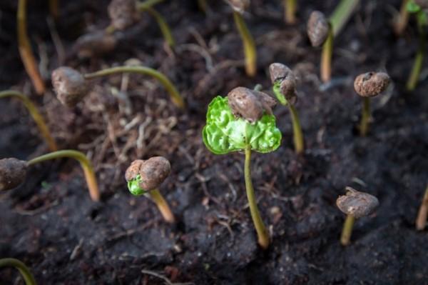 Kaffeepflanze Pflege Tipps und Wissenswertes für kaffeeliebende Hobbygärtner kaffee sämling jungpflanze