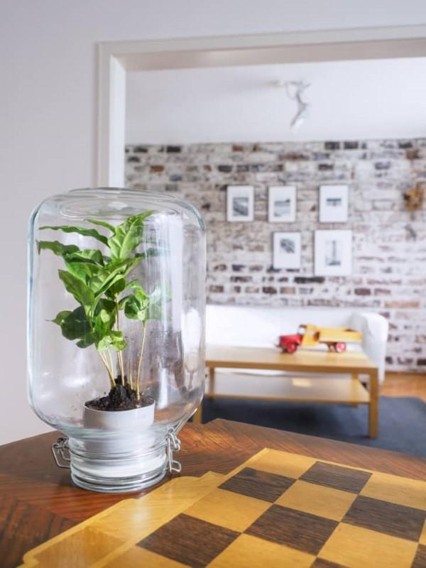 Kaffeepflanze Pflege Tipps und Wissenswertes für kaffeeliebende Hobbygärtner kaffee topf unter glas
