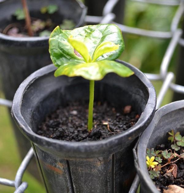 Kaffeepflanze Pflege Tipps und Wissenswertes für kaffeeliebende Hobbygärtner keimling sämling kaffee bohne
