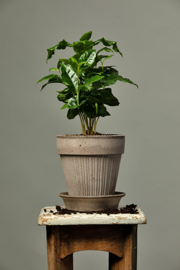 Kaffeepflanze Pflege Tipps und Wissenswertes für kaffeeliebende Hobbygärtner kleine zierpflanze kaffee in topf