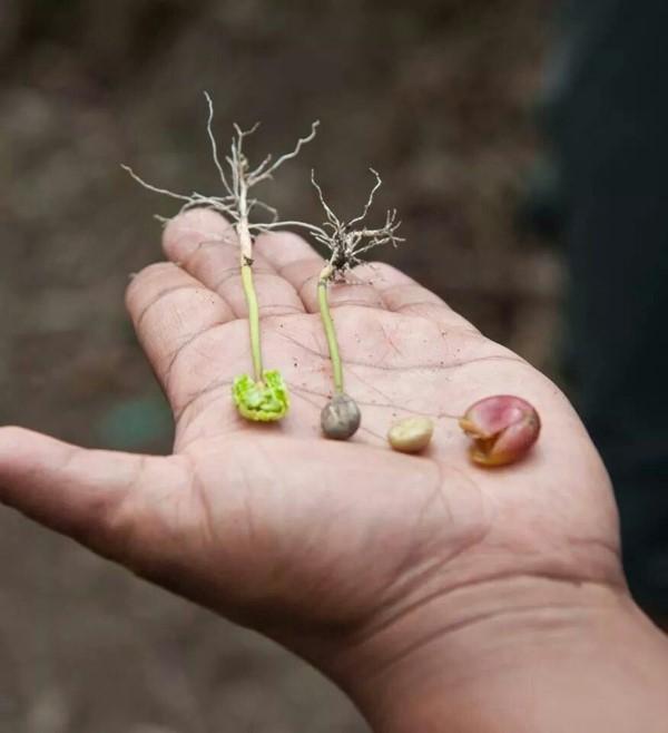 Kaffeepflanze Pflege Tipps und Wissenswertes für kaffeeliebende Hobbygärtner leben der kaffee pflanze