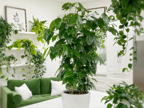 Kaffeepflanze Pflege Tipps und Wissenswertes für kaffeeliebende Hobbygärtner mini dschungel zu hause pflanzen