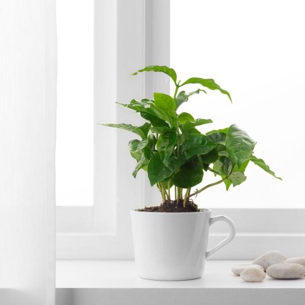 Kaffeepflanze Pflege Tipps und Wissenswertes für kaffeeliebende Hobbygärtner ostfenster kaffee pflanze